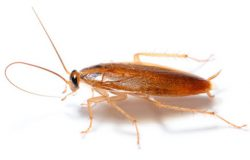cucaracha-alemana