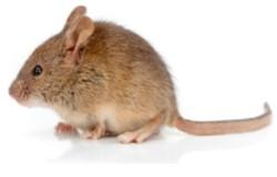 raton 250x160