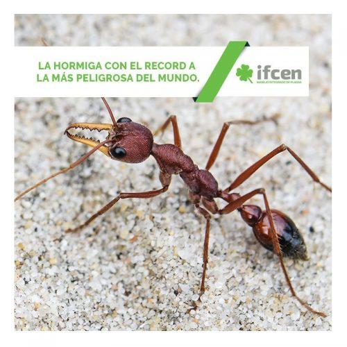 La hormiga con el record a la más peligrosa del mundo